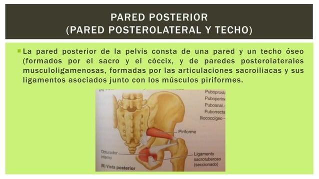  Esta constituido por el diafragma pélvico, en forma de embudo o cuenco, que consta de los músculos elevadores del ano y ...