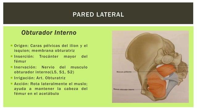Piriforme  Origen: Cara pélvica de los segmentos S2-S4;borde superior de la incisura isquiática mayor y ligamento sacro ...