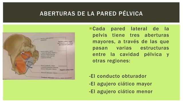 Coccígeo (isquiococcigeo) Origen: Espina isquiática Inserción: Extremo inferior del sacro y cóccix Inervación: Ramos d...