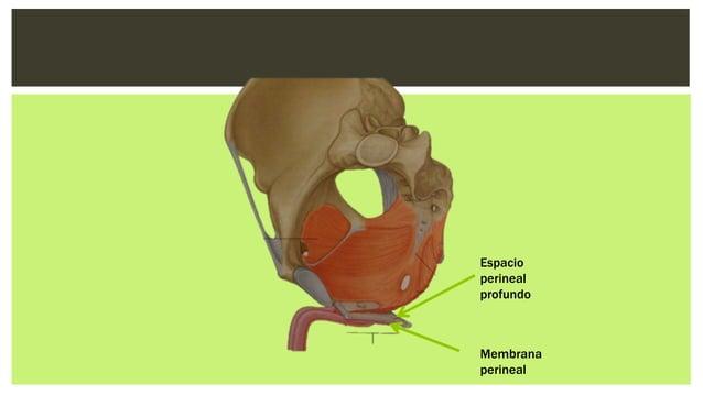 Bulboesponjoso (Hombre) Origen: Rafe medio en la cara ventral del bulbo del pene; cuerpo perineal Inserción: Rodea las ca...