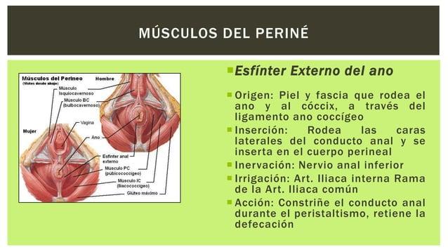Isquiocavernoso  Origen: Cara interna de la rama isquiopubiana y tuberosidad isquiática  Inserción: Abraza el pilar del...