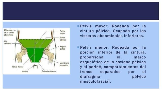  Pelvis mayor: Rodeada por la cintura pélvica. Ocupada por las vísceras abdominales inferiores.  Pelvis menor: Rodeada p...