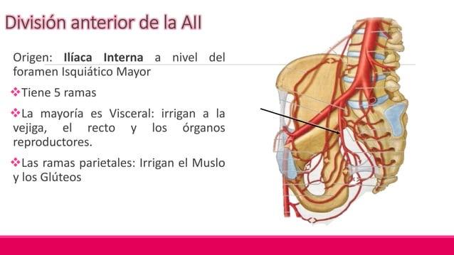 A. Vesical Superior Origen: Porción permeable de la A. Umbilical Recorrido Variado, pasa hacia la cara superior de la Vej...