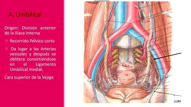 A. Del Conducto Deferente♂ Origen: Arteria Vesical Superior o A. Vesical Inferior. Discurre subperitonealmente hasta el c...