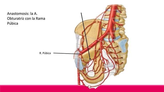 A. Vesical Inferior♂ Origen: Porción permeable de la A. Umbilical Pasa subperitonealmente en el Ligamento lateral de la V...