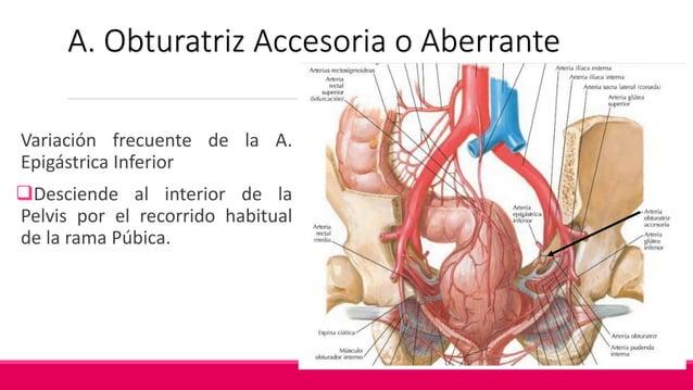 A. Ramas Prostáticas ♂ Origen: A. Vesical Inferior Desciende por las caras posterolaterales de la próstata Distribución: ...