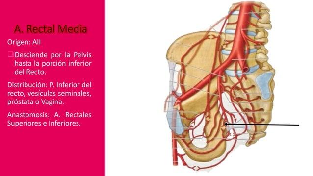Irriga: los músculos y la piel de la nalga y la cara posterior del Muslo. Anastomosis: A. Femoral profunda (a través de la...