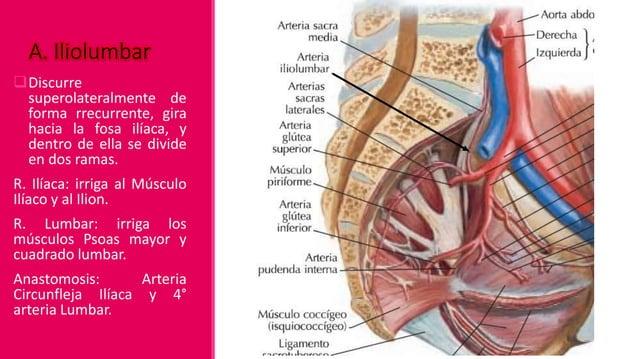 Territorio: Piriforme, estructuras del sacro, Erector de la columna y piel suprayacente. Anastomosis: Arterias Sacras medi...