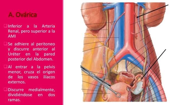 Arteria Testicular Desciende retroperitonealmente Atraviesa el conducto inguinal y entra en el escroto. Distribución: Ur...