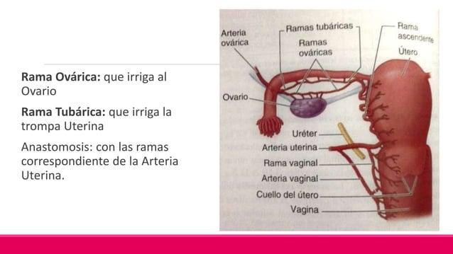 A. Sacra Media Pequeña e Impar Nace de la cara posterior de la Aorta Discurre anterior a los cuerpos de la última o las...