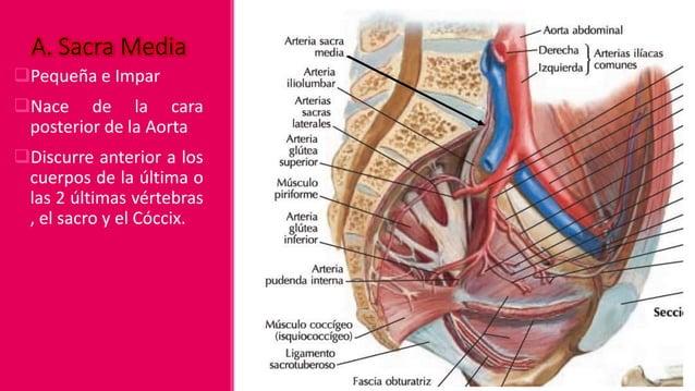 Aorta Abdominal A. Gonadal A. Ovárica Rama Ovárica Rama Tubárica A. Testicular A. Sacra Media A. De L5 Ramas Parietales