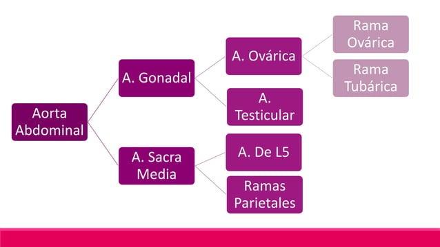 Distribución; Porción superior del recto Anastomosis: Arteria Rectal Media; Arteria Rectal Inferior (Rama de la A. Pudenda)