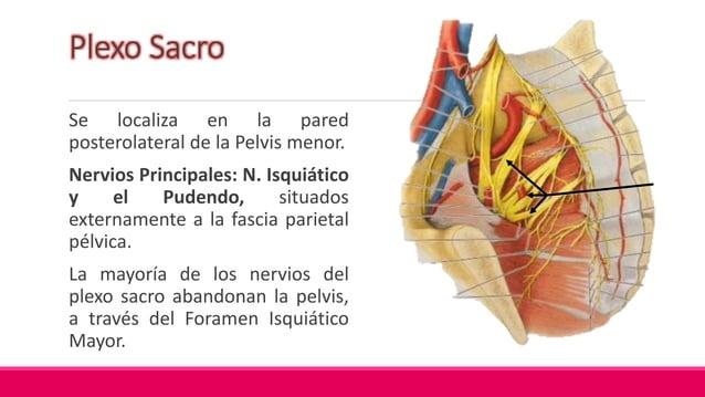 Plexo Coccígeo Formado por: ramos anteriores de los nervios espinales S4 y S5 y los Nervios Coccígeos. Pequeña red de fibr...