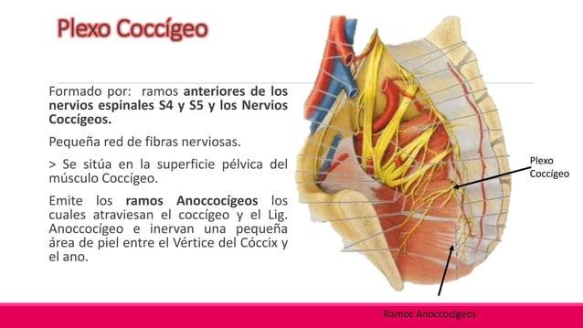 Plexos Hipogástricos (Superior e Inferior): Vía más importante por donde llegan fibras simpáticas a las vísceras Pélvicas...