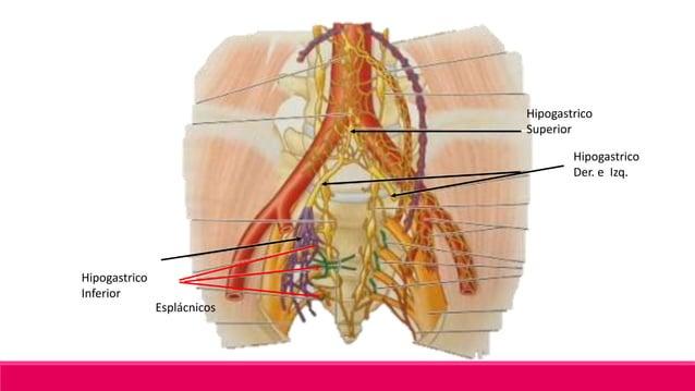 Inervación Aferente Visceral en la Pelvis Discurren con las fibras nerviosas Autónomas Conducen sensaciones reflejas La...