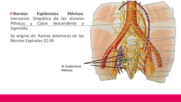 Tronco Lumbosacro: Formado por: L4 y L5, es grueso. Discurre inferiormente, sobre la cara anterior del ala del sacro, para...