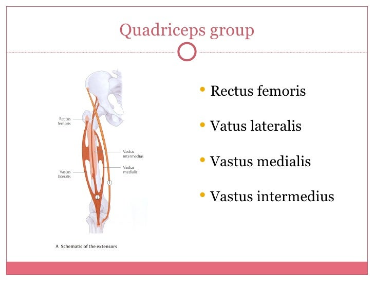 Quadriceps group <ul><li>Rectus femoris </li></ul><ul><li>Vatus lateralis  </li></ul><ul><li>Vastus medialis </li></ul><ul...