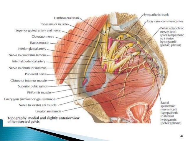 Pelvis and perineum