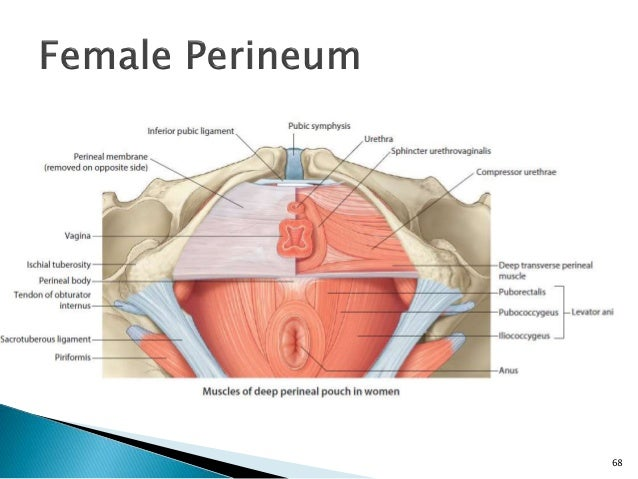 Urogenital Diaphragm Female Muscle Anatomy Diagram - House Wiring ...