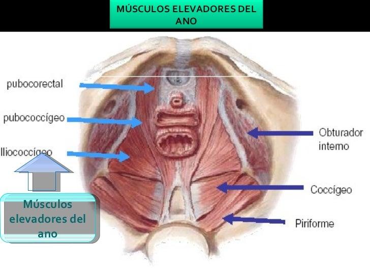 Famoso Elevador Del Músculo Del Ano Anatomía Ilustración - Anatomía ...