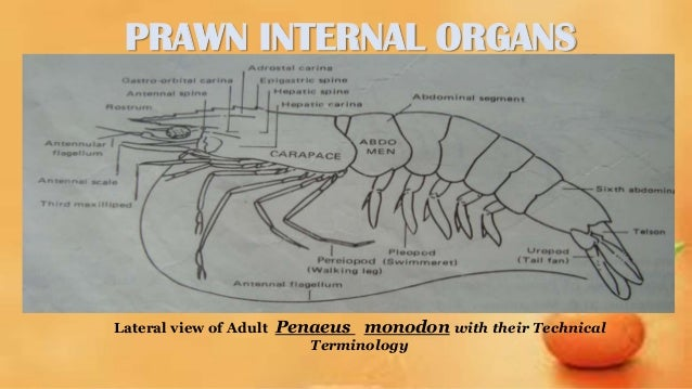 Penaeus monodon grow out culture prawn internal organs ccuart