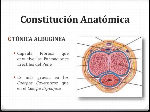 Anatomía: Pene