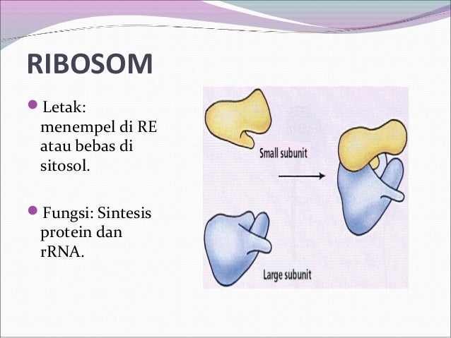 fungsi badan golgi sintesis steroid