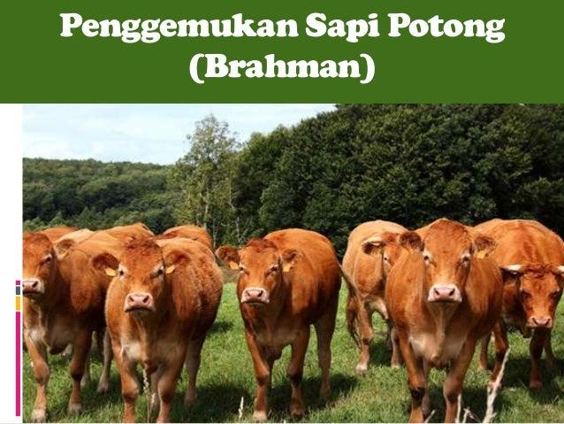 Penggemukan Sapi Potong (Brahman)