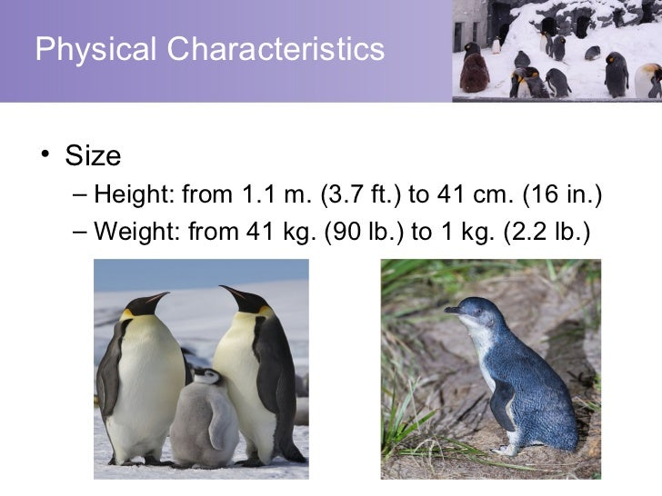 the distinct characteristics of a penguin Penguins are aquatic, flightless birds that are highly adapted to life in the water  their distinct tuxedo-like appearance is called countershading, a form of.