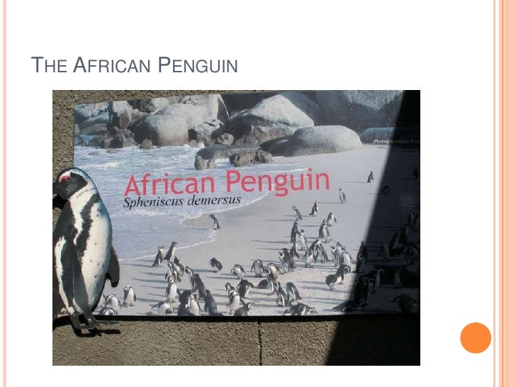 The African Penguin<br />
