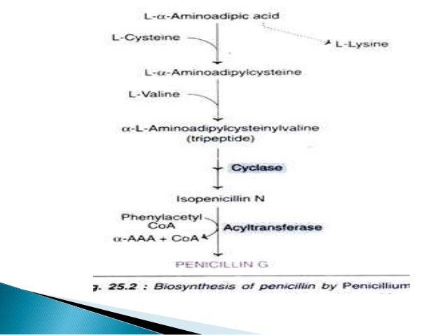penicillin g production rh slideshare net