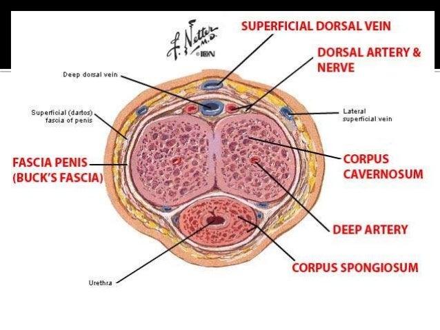 penis dorsal nerve