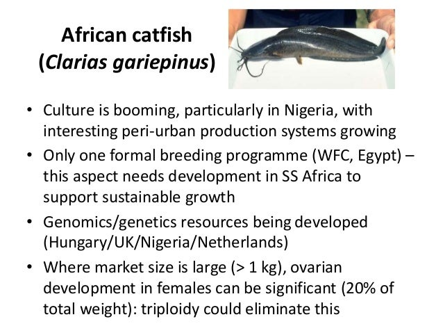 African catfish (Clarias gariepinus) • Culture is booming, particularly in Nigeria, with interesting peri-urban production...