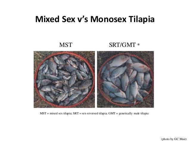Mixed Sex v's Monosex Tilapia (photo by GC Mair) MST SRT/GMT ® MST = mixed sex tilapia; SRT = sex-reversed tilapia; GMT = ...