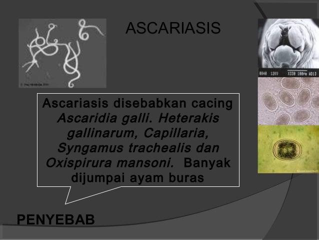Penyakit parasit unggas versi 97 Slide 2