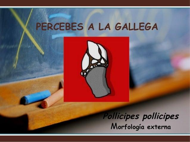 PERCEBES A LA GALLEGA           Pollicipes pollicipes             Morfología externa