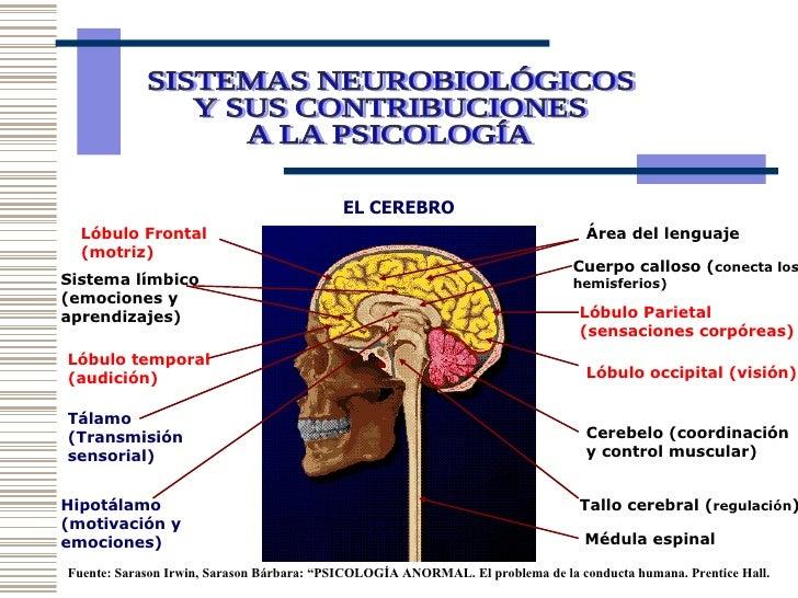 EL CEREBRO Área del lenguaje Lóbulo Frontal (motriz) Lóbulo Parietal (sensaciones corpóreas) Lóbulo occipital (visión) Lób...