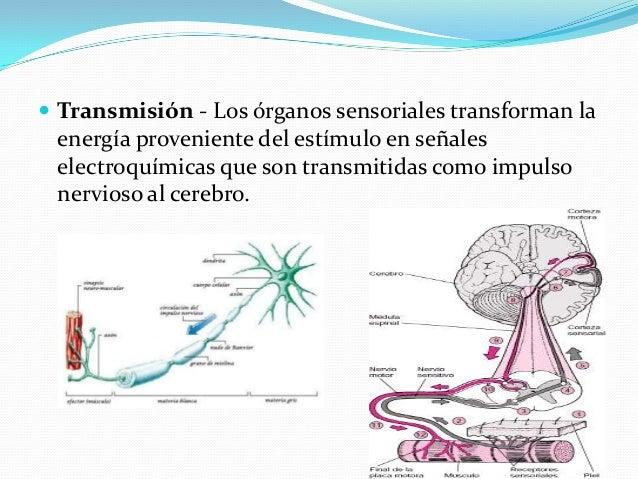  Transmisión - Los órganos sensoriales transforman la energía proveniente del estímulo en señales electroquímicas que son...