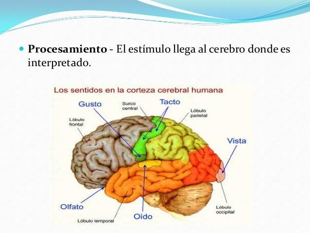  Procesamiento - El estímulo llega al cerebro donde es interpretado.