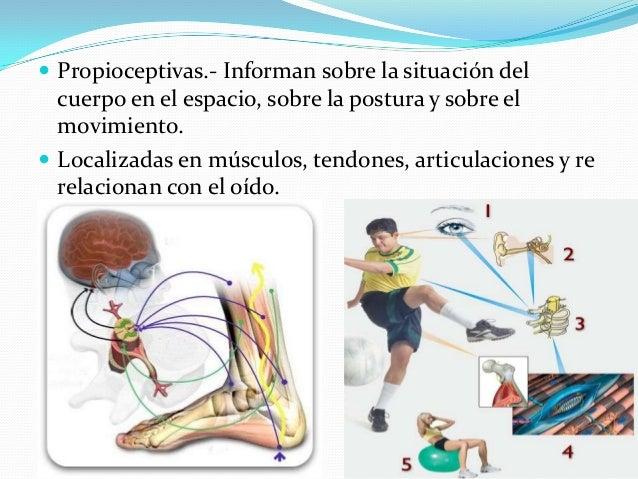  Propioceptivas.- Informan sobre la situación del cuerpo en el espacio, sobre la postura y sobre el movimiento.  Localiz...