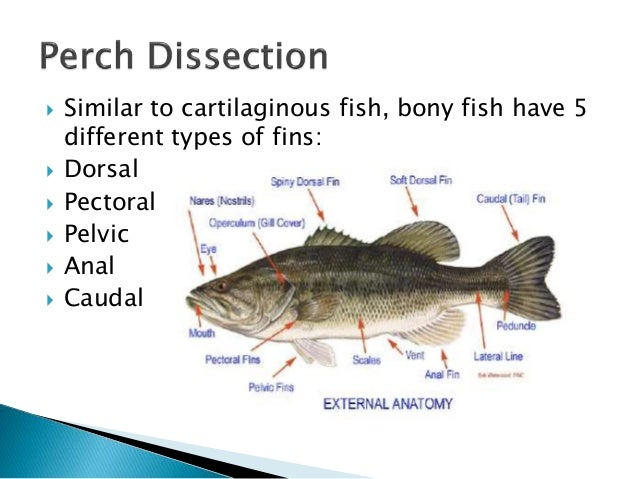Perch dissection