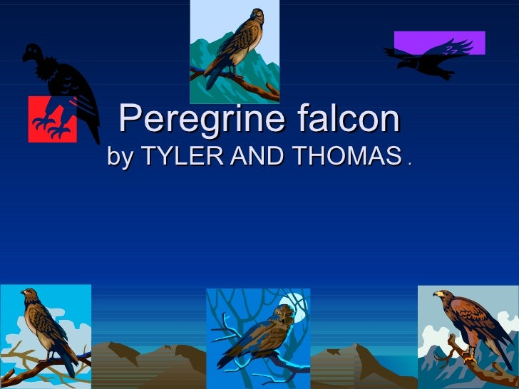 Peregrine falcon by TYLER AND THOMAS  .