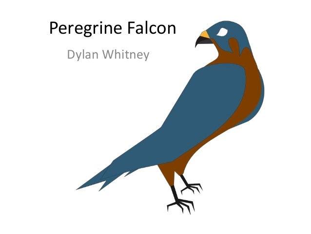 Peregrine Falcon Dylan Whitney