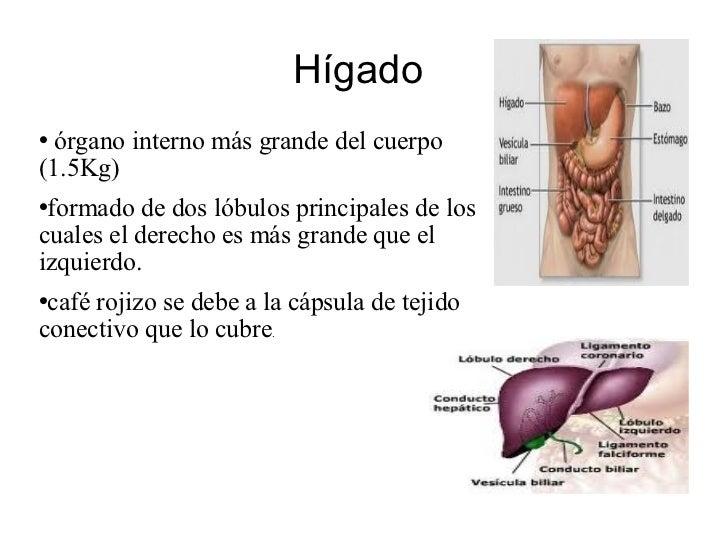Hígado  <ul><li>órgano interno más grande del cuerpo (1.5Kg)  </li></ul><ul><li>formado de dos lóbulos principales de los ...