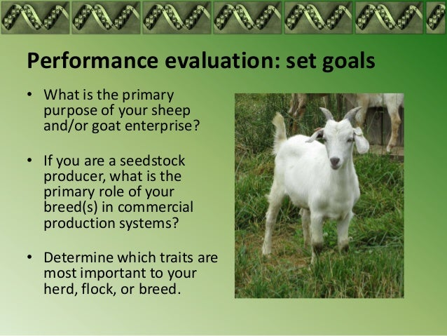 Primary sex ratio of goats