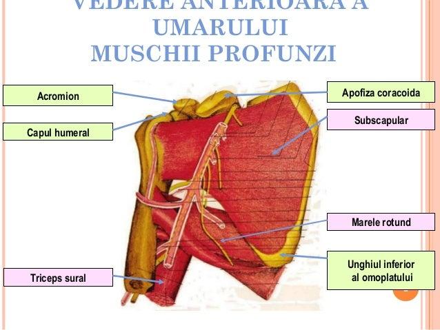 VEDERE ANTERIOARA A UMARULUI MUSCHII PROFUNZI Acromion Capul humeral  Apofiza coracoida Subscapular  Marele rotund  Tricep...