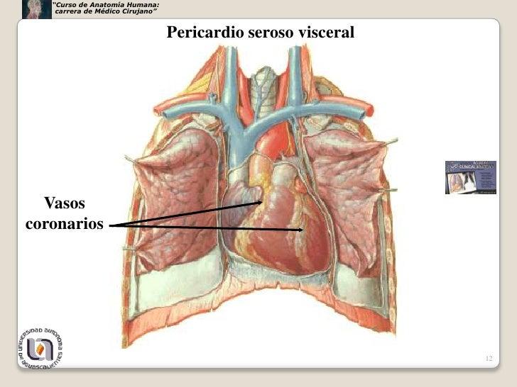 Increíble Anatomía Saco Pericárdico Embellecimiento - Anatomía de ...