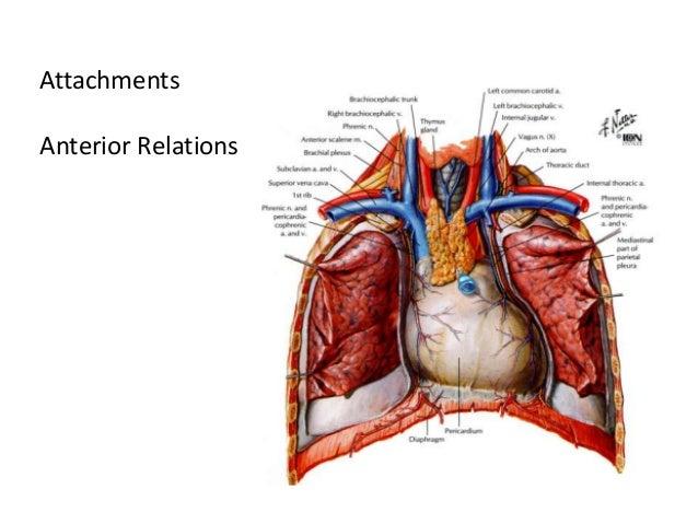 pericardium, Human Body