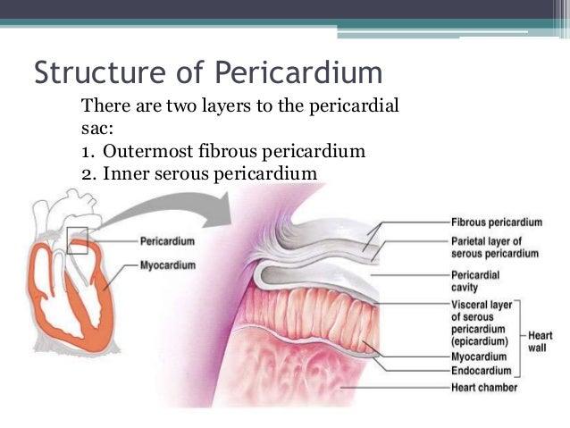 Heart cavity anatomy