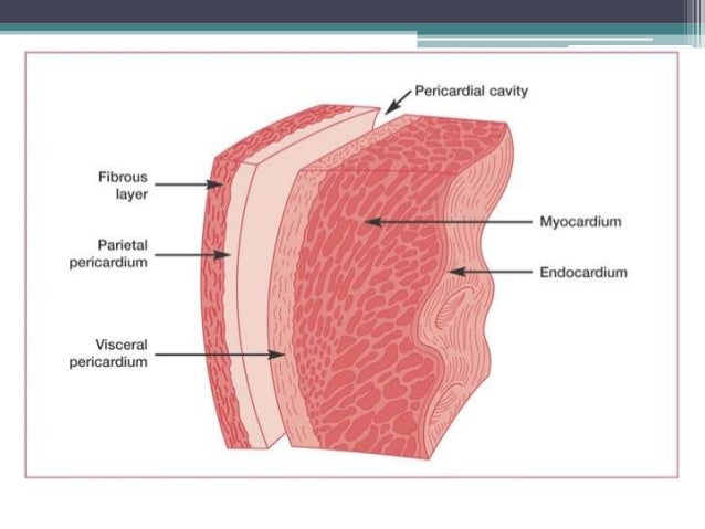 Layers Of The Pericardium Heart Wall And Spiral Arrangement as well Chapter 20 37542091 also Anatomy Of Pericardium furthermore 4359385 likewise Heart. on heart of the serous covering wall